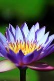 крупного плана цветка вода лотоса lilly Стоковые Фотографии RF
