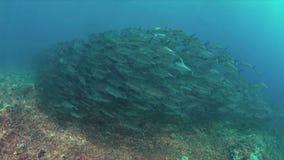 Крупно-глаз Trevallies на коралловом рифе 4k сток-видео