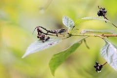 Крупно-обнюханный хамелеон Стоковая Фотография RF