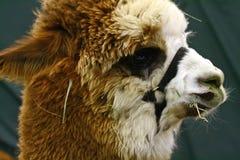 крупный план альпаки Стоковая Фотография