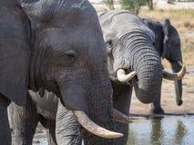 Крупный план африканских слонов выпивая на водопое в Ботсване, Африке стоковое изображение