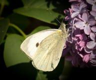 Крупный план бабочки капусты подавая на цветениях сирени Стоковые Изображения