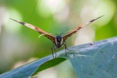 Крупный план бабочки монарха сидя на лист стоковые изображения