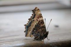 Крупный план бабочки на классн классном Стоковая Фотография RF