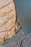 Крупный план бабочки на сером экране Стоковые Фотографии RF