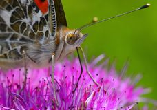 Крупный план бабочки на цветке стоковые фото