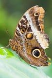 Крупный план бабочки atreus caligo на лист Стоковые Фотографии RF