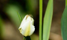 Крупный план белого тюльпана весной с пауком Стоковые Изображения