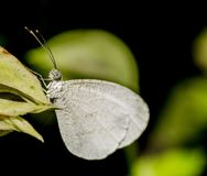 Крупный план белой бабочки на зеленых лист Часть селективного фокуса и урожая Стоковая Фотография RF