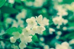 Крупный план белой зацветая ветви яблони Стоковые Изображения