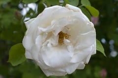 Крупный план белой розы на зеленой предпосылке Стоковое фото RF