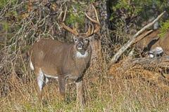 Крупный план, белый замкнутый самец оленя оленей пробует ветви дерева стоковое фото