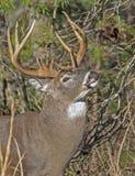Крупный план, белый замкнутый самец оленя оленей пробует ветви дерева стоковые фотографии rf