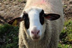 Крупный план белых овец возглавляет с черными заплатами Стоковое Изображение