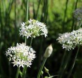 Крупный план белых цветков tuberosum лукабатуна chives чеснока Лекарственные растения, травы в органическом саде запачканный Стоковые Фотографии RF