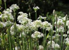 Крупный план белых цветков tuberosum лукабатуна chives чеснока Лекарственные растения, травы в органическом саде запачканный Стоковые Изображения