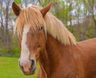 Крупный план бельгийской лошади проекта стоковые фото