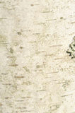 крупный план березы расшивы Стоковое фото RF