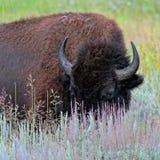 Крупный план большого коричневого буйвола в wildflowers Стоковые Изображения