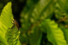 Крупный план большого коричневого жука сидя на зеленых лист Стоковая Фотография RF