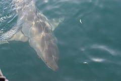 Крупный план большой белой акулы на подныривании клетки в заливе Mossel, Южной Африке стоковые фотографии rf