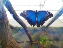 Крупный план большой голубой бабочки morpho Стоковые Фото