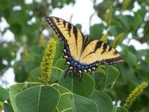 Крупный план большой желтой бабочки Swallowtail тигра Стоковое Изображение RF