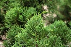 Крупный план верхней части сосны Рождественская елка оно для комплекта с светами и орнаментами рождества Стоковые Фотографии RF