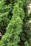 Крупный план верхней части сосны Рождественская елка оно для комплекта с светами и орнаментами рождества Стоковое Фото