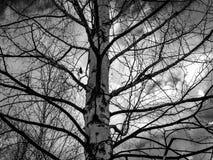 Крупный план ветвей березы дерева березы обнаженный стоковые изображения rf