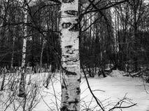 Крупный план ветвей березы дерева березы обнаженный стоковые фотографии rf