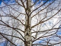 Крупный план ветвей березы дерева березы обнаженный стоковые фото
