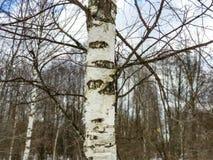 Крупный план ветвей березы дерева березы обнаженный стоковые изображения