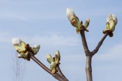 Крупный план ветви дерева Hippocastanum с бутонами Стоковые Изображения RF