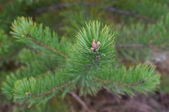 Крупный план ветви ели с зеленым цветом крупного плана почки стоковое фото rf