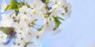Крупный план вишневых цветов весны, день белого цветка солнечный, против Стоковые Изображения RF