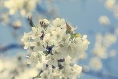 крупный план вишни цветений стоковое изображение