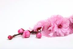 крупный план вишни цветения цветет пинк стоковые изображения