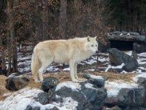 Крупный план волка на международном центре волка перед вертепом Стоковые Фотографии RF