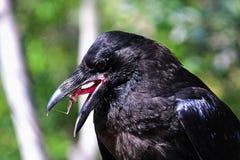 Крупный план ворона улавливая муху на своем липком языке Стоковое фото RF
