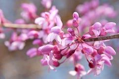 Крупный план восточных цветков Redbud Стоковые Изображения RF