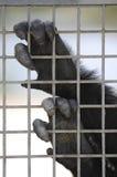 крупный план вручает приматов Стоковое Изображение RF