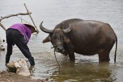 Крупный план въетнамской женщины купая индийский буйвола после работы, Вьетнама, Ханоя Стоковая Фотография RF