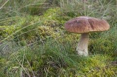 Крупный план выхода осени плюшки пенни в лесе Стоковые Фото