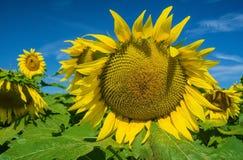 Крупный план гигантские солнцецветы в поле стоковая фотография rf