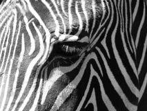 Крупный план глаза зебры Стоковое Изображение RF
