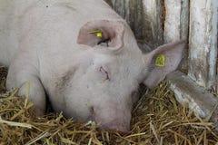 Крупный план головной спать свиньи Стоковые Фото