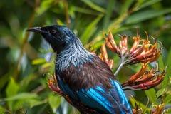 Крупный план головы птицы едока меда Новой Зеландии Tui стоковая фотография rf
