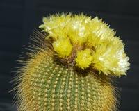 Крупный план группы яркого желтого золотого кактуса Parodia шарика стоковые фото
