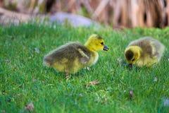 Крупный план 2 гусят младенца в траве Стоковое Изображение